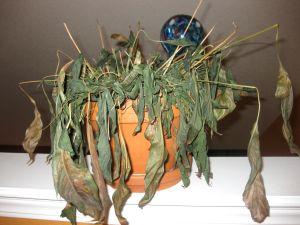 dead-houseplant